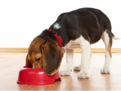 What should I do--- My dog vomits!